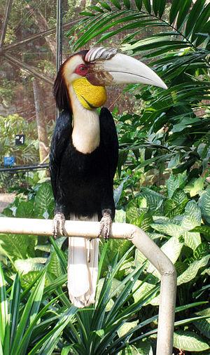 Wreathed hornbill - Image: Wreathed Hornbill (Rhyticeros undulatus) in TMII Birdpark