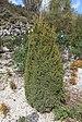 Xenebreiro. Juniperus Communis. Canedo. Ourense. Galiza-3.jpg