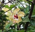 Yello & Red Hibiscus in Goa, India.jpg