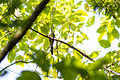 Yellow-billed cuckoo (20879806938).jpg