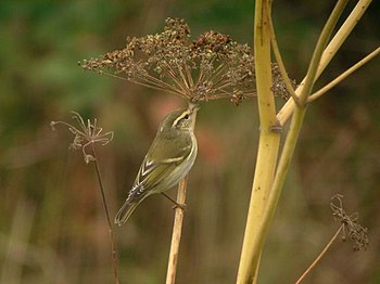 English: Yellow-browed Warbler (Phylloscopus i...