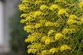 Yellow (5745783263).jpg