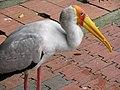 Yellow Billed Stork (7856596518).jpg