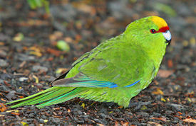 Yellow crowned parakeet.jpg