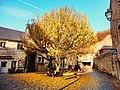Yellow tree fall - panoramio.jpg