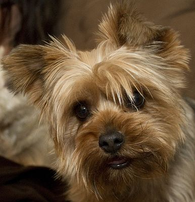Yorkshire Terrier Wikiwand