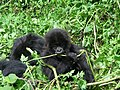 Young Mountain Gorilla (6461814759).jpg