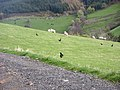 Young pheasants and sheep^ - geograph.org.uk - 600938.jpg