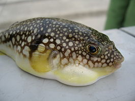 Young species of Tetraodontidae (fugu).jpg