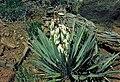 Yucca baccata fh 1183.64 UT B.jpg