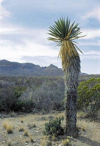 Struggle for existence - Image: Yucca carnerosana fh 1179.26 TX B