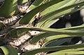 Yucca filifera, Victoria Esplanade Park (2).jpg