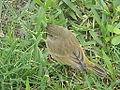 Zapata Sparrow - Laslovarga (4).JPG