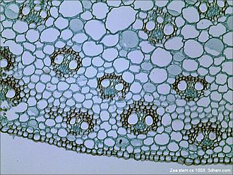 Bright-field microscopy - An example bright-field micrograph. This image shows a cross-section of the vascular tissue in a plant stem.