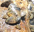 Zebra mussels collected from Huron River (14721841699).jpg