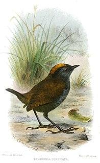 Wrenthrush species of bird