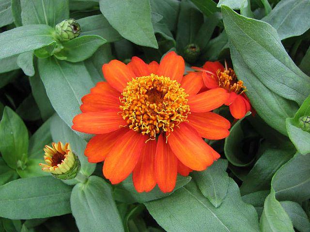 Image result for zinnia zinnia angustifolia