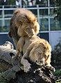 Zwei junge maennliche Loewen Panthera leo Tierpark Hellabrunn-1.jpg