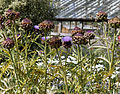 'Cynara cardunculus' Artichoke in Victorian garden Quex House Birchington Kent England 1.jpg