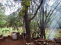 'Jackfruit' tree in Shiroli forests of Ratnagiri District in India,.JPG