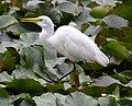 (1)Egret feeding 043.jpg