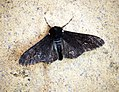 (1931) Peppered Moth (Biston betularia) (35774396741).jpg