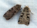 (2127) Triple-spotted Clay (Xestia ditrapezium) and Double Square Spot (5842820464).jpg