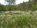Болотная трава весной - panoramio.jpg