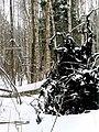 Вывороченные из болота деревья - panoramio.jpg
