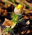 Распускающийся цветок стародубки.JPG