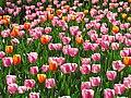 Тюльпани кіровоградського дендропарку.jpg