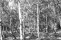 גניגר - יער בלפור-JNF005265.jpeg