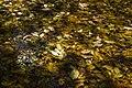 برگ روی برکه-پاییز-Floating leaves fallen from trees 03.jpg