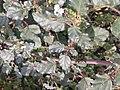 சீமை மூக்கிரட்டை 2 ( Boerhavia erecta).jpg