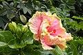 ชบา Hibiscus rosa-sinensis L. Photographs by Peak Hora (9).jpg
