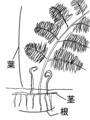 シダ植物の各部位.png