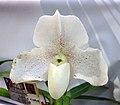 兜蘭屬 Paphiopedilum niveum -香港沙田洋蘭展 Shatin Orchid Show, Hong Kong- (9229788396).jpg