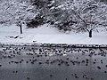 冬のますがた と 白鳥 - panoramio.jpg