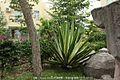 剑麻 Agave sisalana (菠萝麻, 龙舌兰科植物) - panoramio.jpg