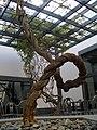 博物馆内一颗有趣的藤树 - panoramio.jpg