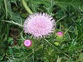 大薊 Cirsium japonicum -香港動植物公園 Hong Kong Botanical Garden- (9200909010).jpg