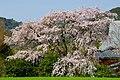 宝珠寺 ヒメシダレザクラ - panoramio - mahlervv.jpg