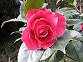 山茶雲茶雜交-情人節 Camellia (reticulata x japonica) Valentine Day -昆明植物園 Kunming Botanic Gardens, China- (26410856568).jpg