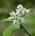 恒春厚殼樹 Ehretia resinosa -高雄原生植物園 Kaohsiung Original Botanical Garden, Taiwan- (27111976658).jpg