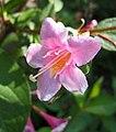早錦帶花 Weigela praecox -波蘭華沙 Krasiński Garden, Warsaw- (35932452170).jpg