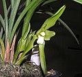 春蘭大花素心 Cymbidium goeringii 'Big Plain' -香港沙田國蘭展 Shatin Orchid Show, Hong Kong- (12303951555).jpg