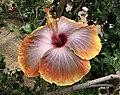 朱槿 Hibiscus rosa-sinensis 'Fifth Dimension' -日本大阪鮮花競放館 Osaka Sakuya Konohana Kan, Japan- (40320279400).jpg