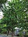 柚木 Tectona grandis 20200922091141 01.jpg