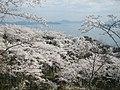 正福寺山公園の桜と三津湾 - panoramio.jpg