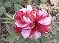牡丹-五彩錦繡 Paeonia suffruticosa 'Multi-coloured Beauty' -洛陽王城公園 Luoyang, China- (12428275814).jpg